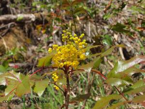 The Oregon Grape flowers eventually produce blue berries that reportedly make great jelly.