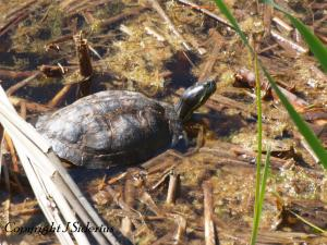 Big Old Female Painted Turtle