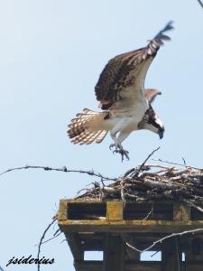 An Osprey landing on the nest