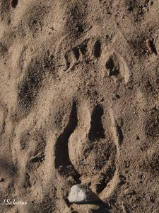 The track of a stotting mule deer