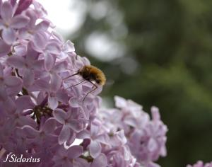 A Bee Fly (Bombyllidae) visiting lilacs.  This family is parasitic on bee larvae and can be important pollinators.