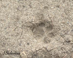 Bobcat track in sand