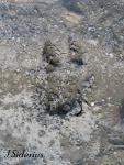 Mountain Caribou Track