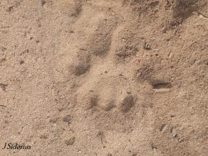 A Cougar Track in Sand
