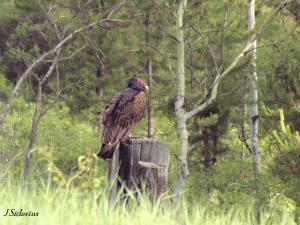Perched near a road-killed elk.  There were 3 young vultures nearby.