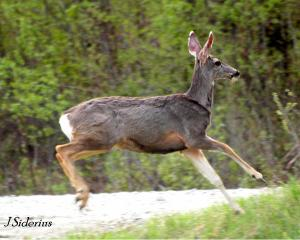 Stotting mule deero