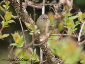early spring Orange-crowned Warbler
