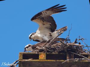 At the nest - bonding pair.