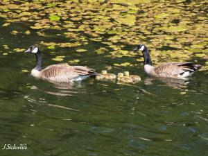 Young goslings in tow