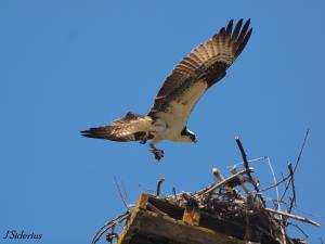 Coming into the nest with a fish