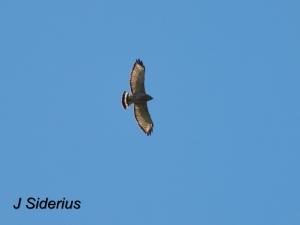 A soaringBroad-winged Hawk