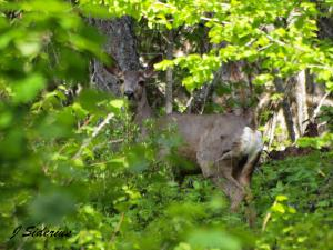 And a Mule Deer watching me from safety