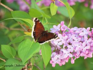 Mourning Cloak visiting the lilac blossoms