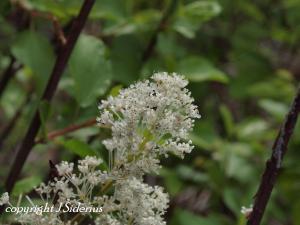 Ceonothus - Snowbrush Blossoms