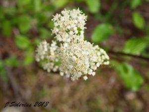 Ceanothus flowers up close