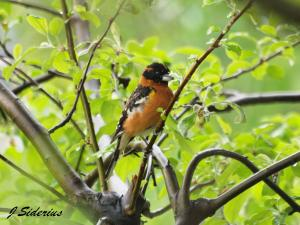 Male Black-headed Grosbeak