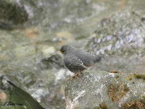 A Dipper singing and displaying