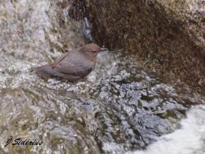 Rushing water and a Dipper