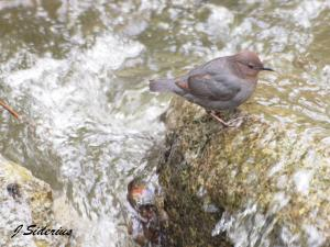 A Dipper in its element
