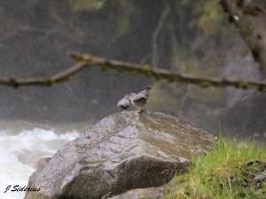 Two Dipper young begging in the mist from Cottonwood Falls