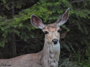 Mule deer have very large ears