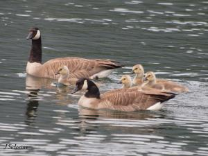 Protecting the young goslings