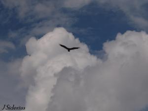 The classic flight profile of a Turkey Vulture