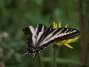 Pale Swallowtail - did a bird snip that wing tip?  The butterfly survived to fly another day.