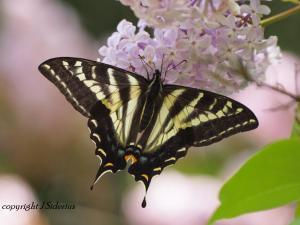 Pale Swallowtail