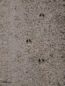 White-tailed Deer tracks