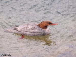 Common Merganser Female