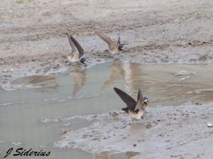 Cliff Swallows collecting mud for nests