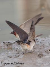 Cliff Swallows gathering mud. A photo from last year.