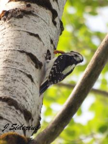 A Hairy Woodpecker feeding a large, caterpillar? to nestlings
