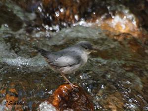 Young Dipper calling for food