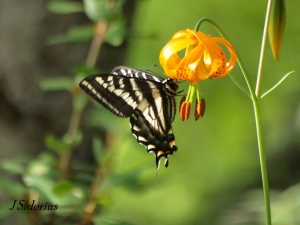 Pale Swallowtail on Canada Lily