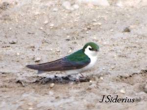 Violet Green Swallow male looking for twigs in the mud
