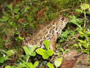 I saw this Western Toad last year on the trail