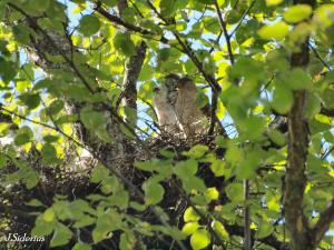 Cooper's Hawk Female on the nest with young