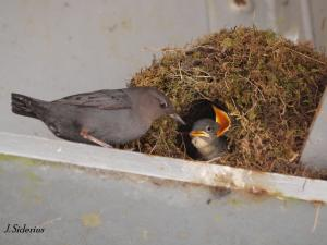 at the nest - younger chicks