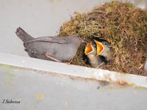 feeding older chicks