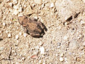 """A tiny Western Toad """"toadlet"""""""