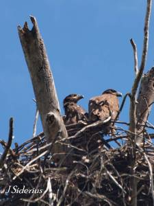Two young Bald Eagles at the nest