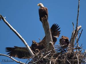 Adult Bald Eagle at the nest with 2 young