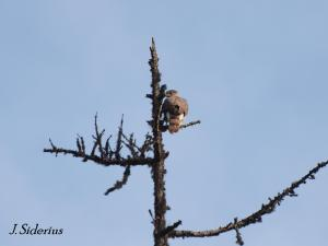 Cooper's Hawk male on the lookout snag in May