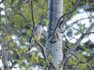 Cooper's Hawk male near the bird feeder in spring