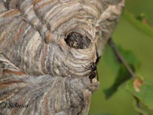 Bald-faced Hornets at the nest
