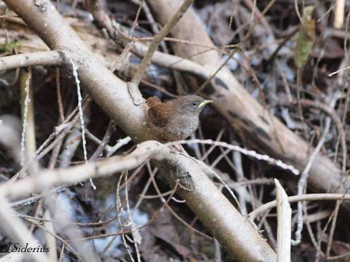 A fledgling wren waiting for more food