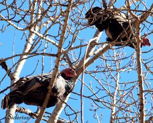 Tom Turkeys in a tree