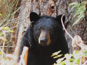 Black Bear this spring